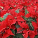 Пуансетия — цветок рождественского и новогоднего счастья