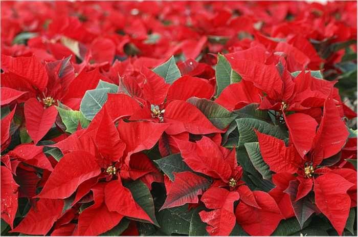Planta de navidad o flor de pascua